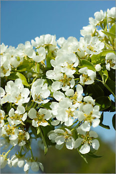 Blooming_6N8060_M